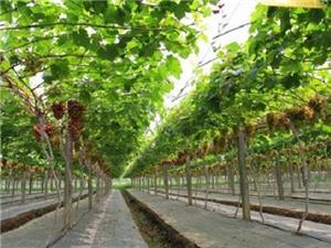 Grape Greenhouse Films