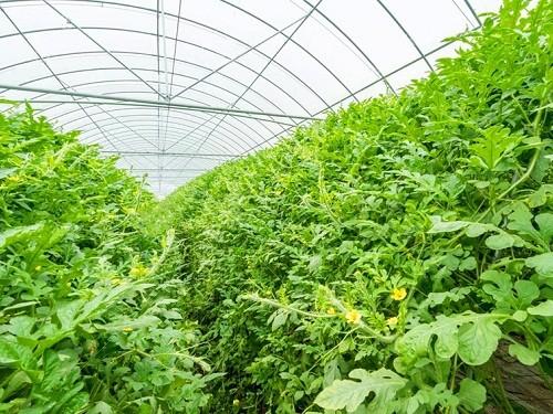 Watermelon Greenhouse Films