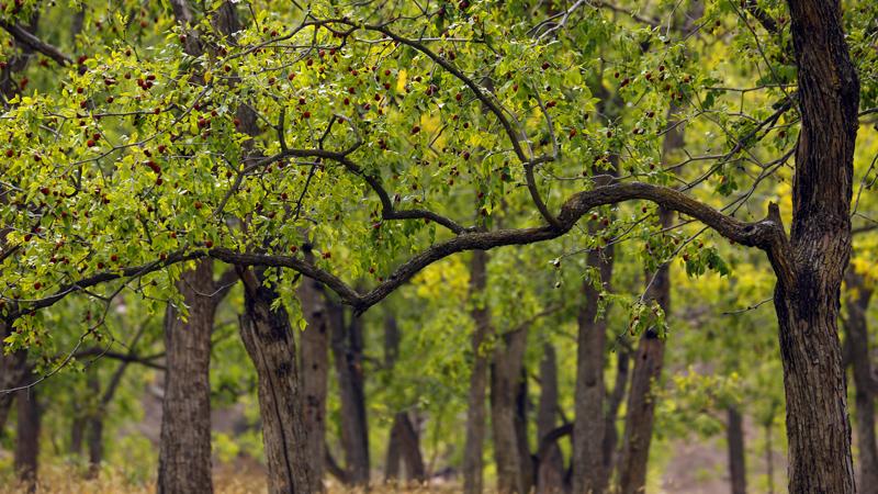 ALIORGANIC Hünnap Ağacı Bilgisi