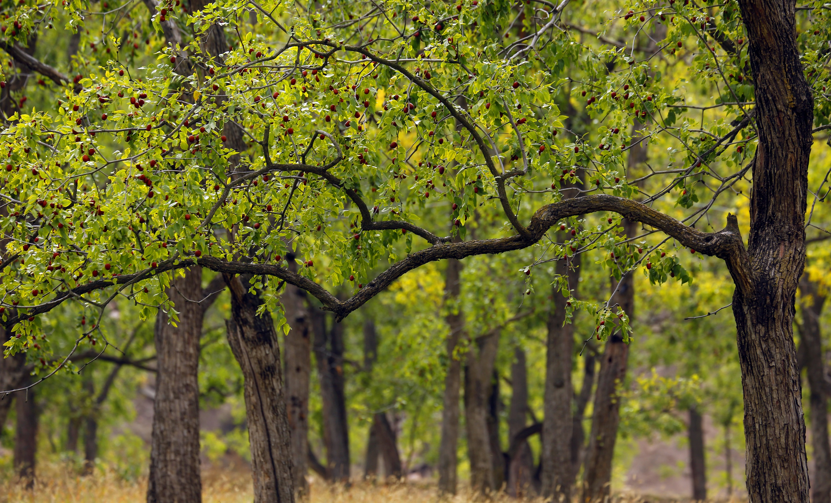 ALIORGANIC organic dried jujube tree,Chinese red date .jpg