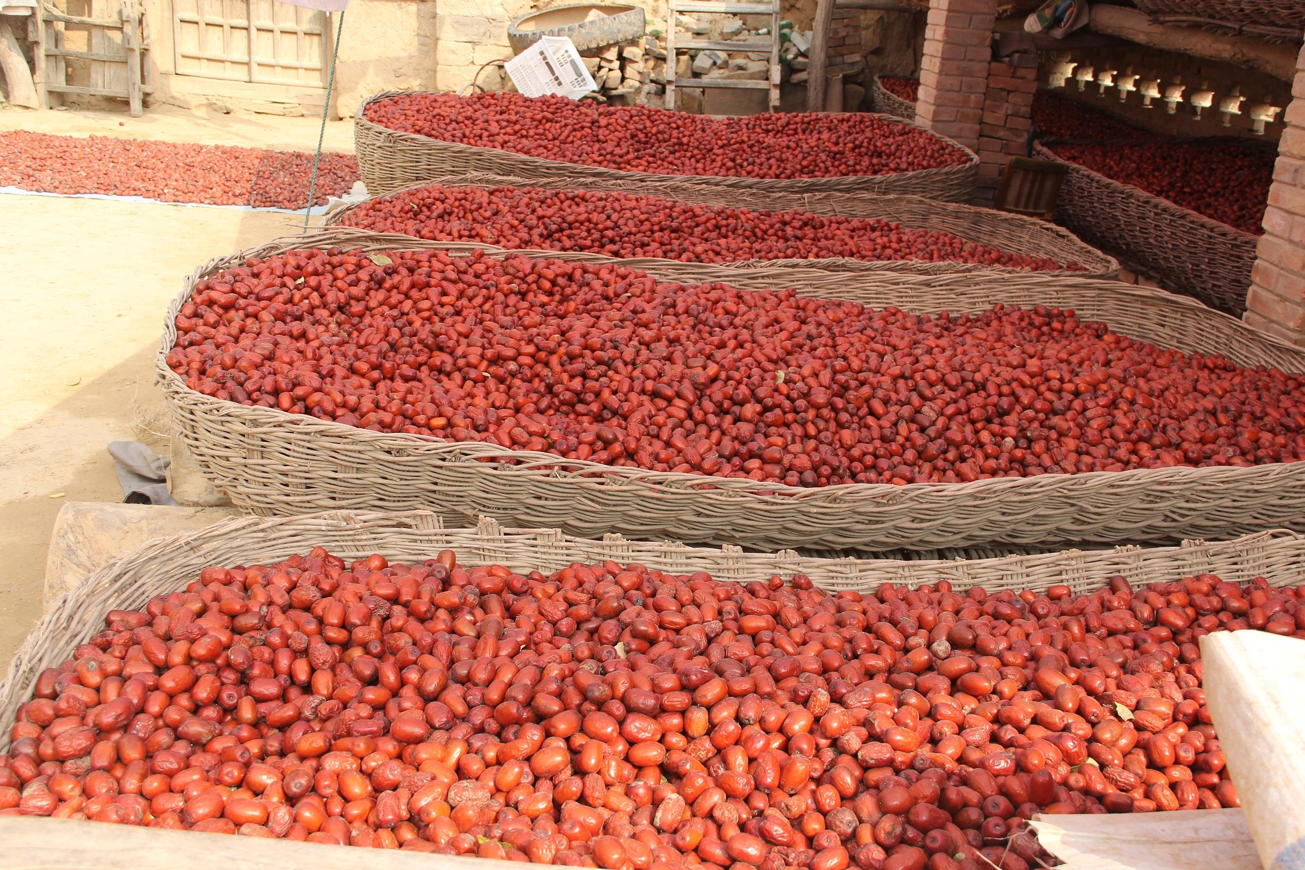 ALIORGANIC organic red jujube harvest process.JPG