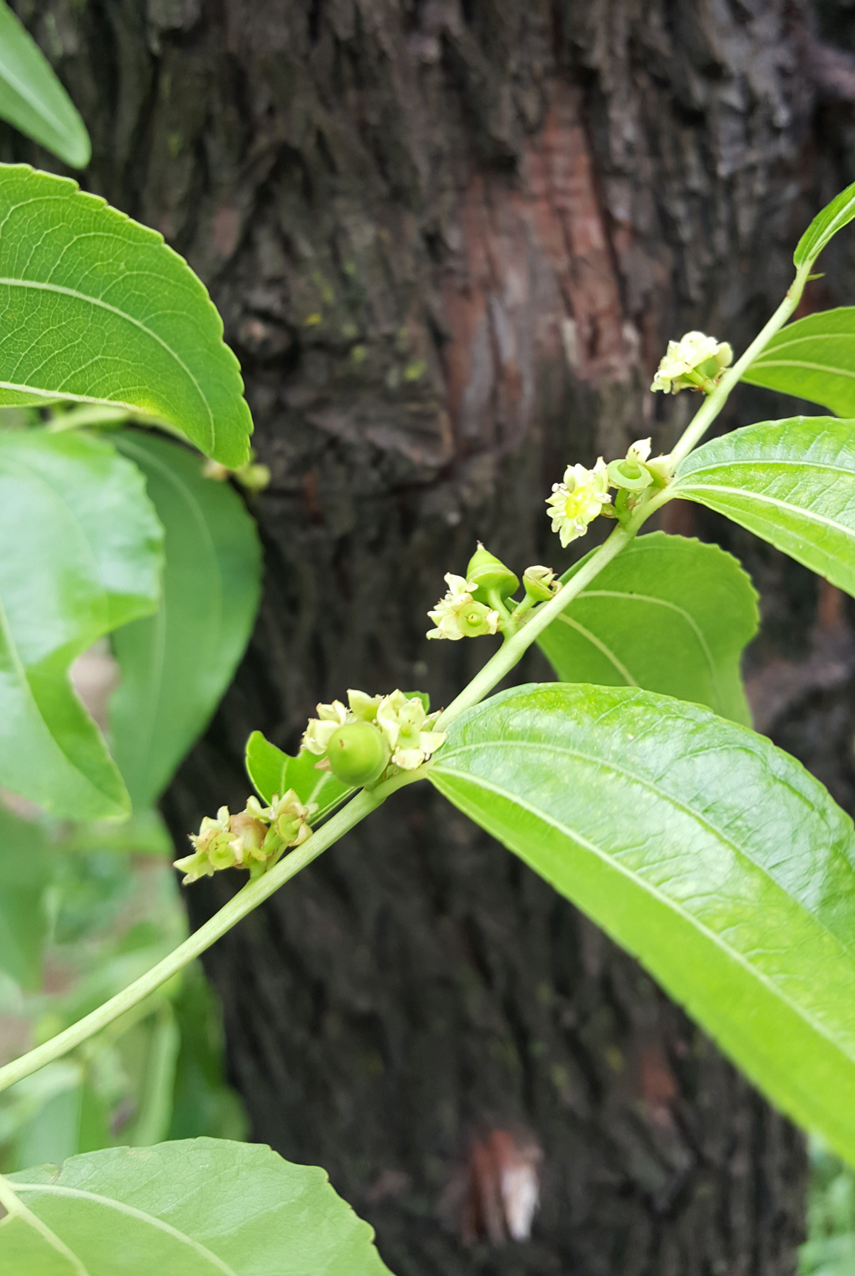 What are the benefits of jujube leaves in medical?