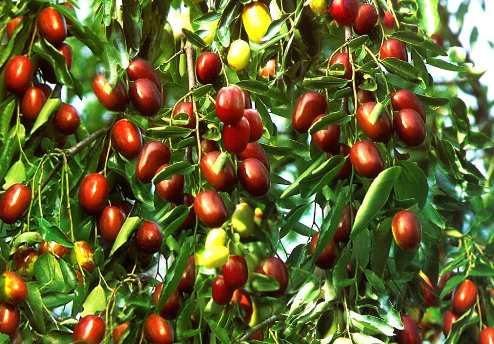 What are the nutritional value of ziziphus jujube?