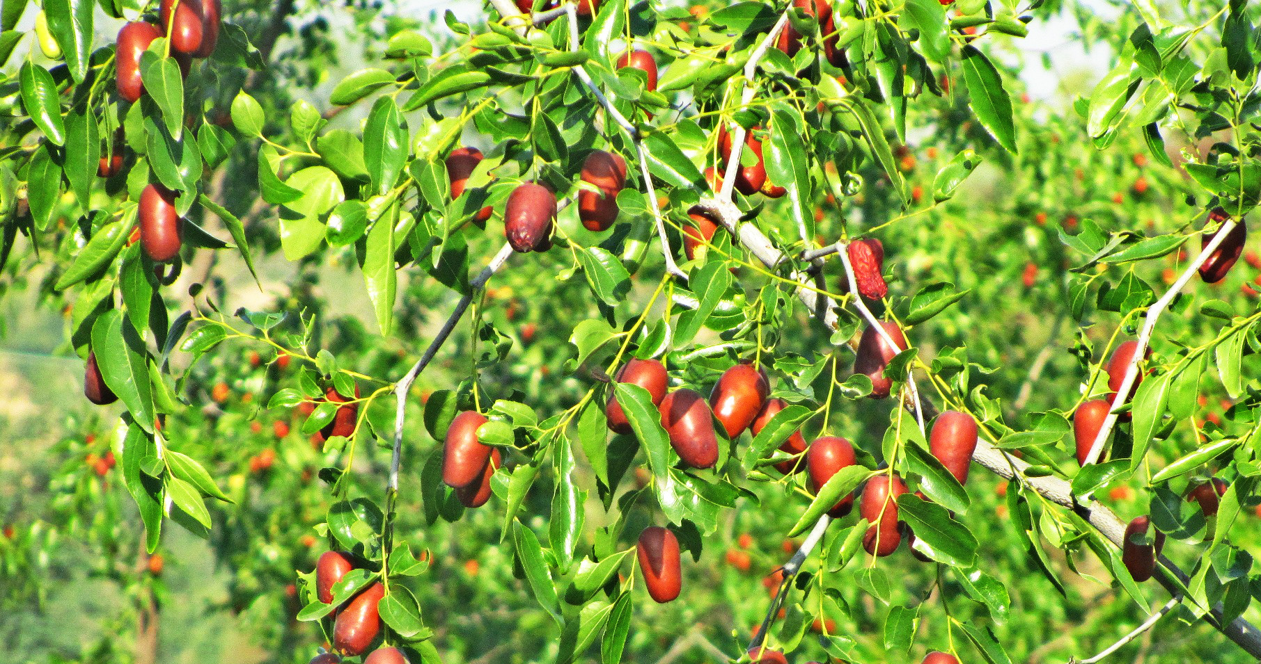 fresh red dates
