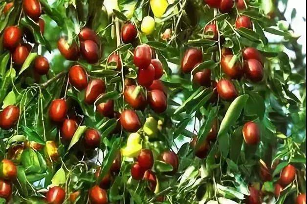Nutritional value of jujube
