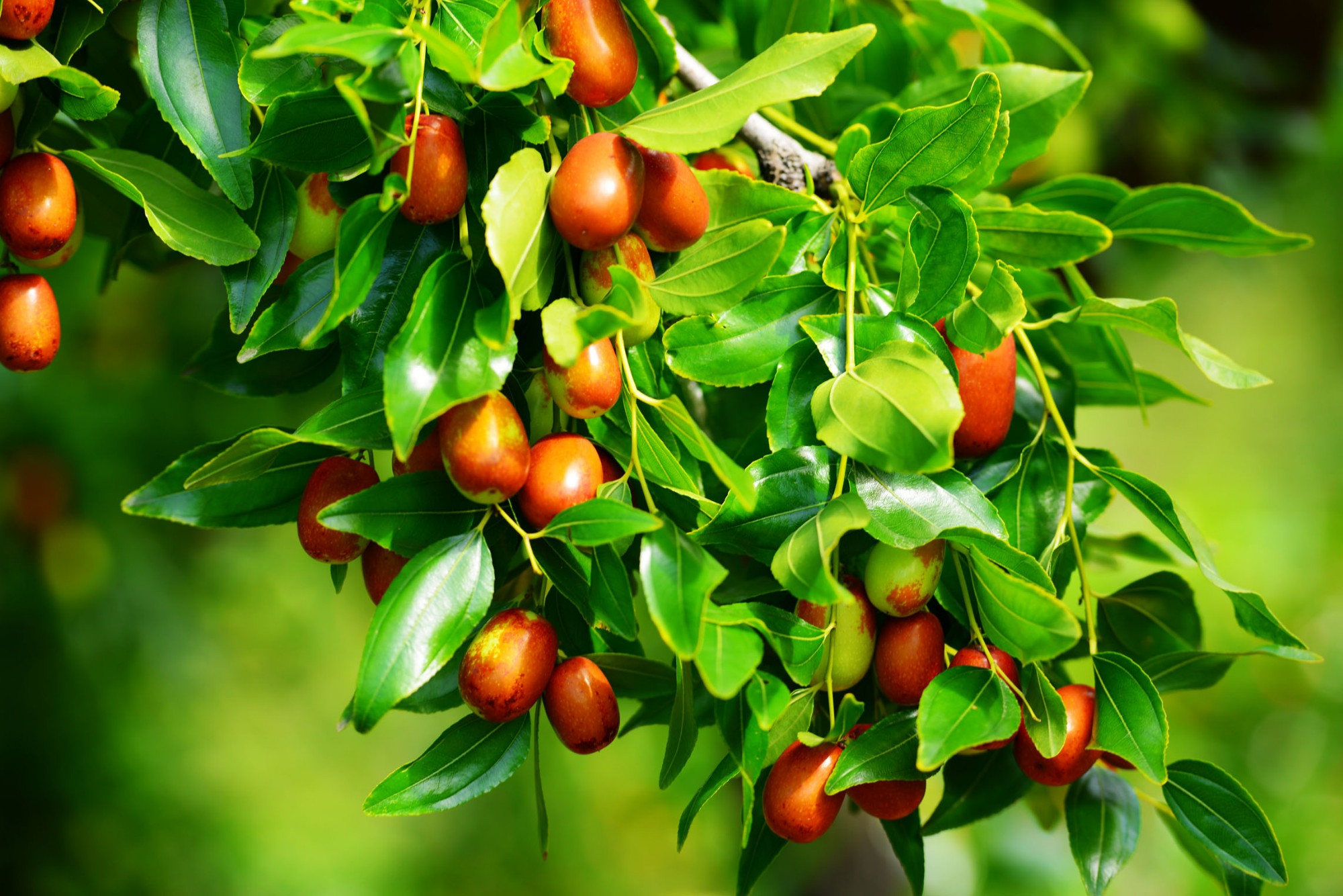 Analysis of main therapeutic efficacy and medicinal value of jujube