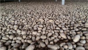 Ziemniak Cold Storage
