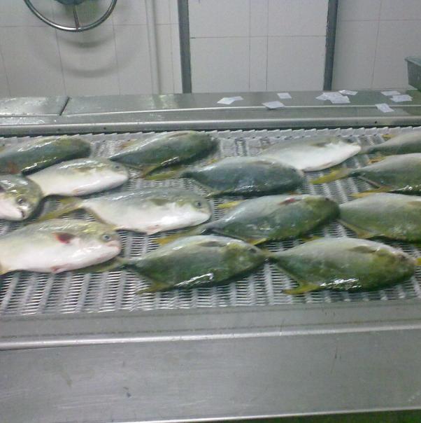 Harga Bersaing Spiral Freezer BINGSHAN Cina Untuk Fish Fillet