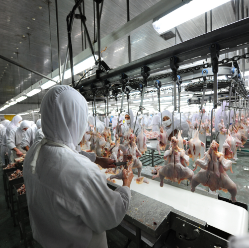 Bingshan provides the complete set:  · chicken slaughter line,  · fresh chicken processing,  · pickling,  · whole chicken quick freezing,  · refrigeration storage (The maximum capacity is 6.5W chickens per day. Separate night shift.)