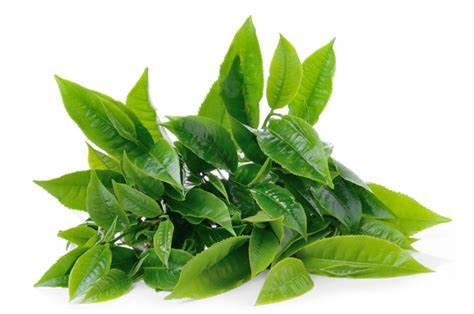 Vine Tea Extract