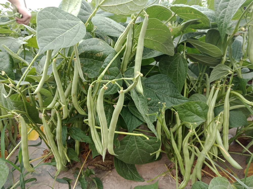 IQF فاصوليا خضراء عضوية