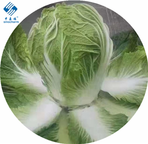 Sinocharm Brc a Approved IQF Chinese Cabbage Cut Frozen Chinese cabbage