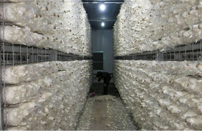 Ozone for mushroom cultivation