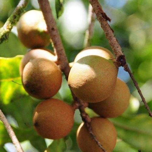 Monk Fruit Extract