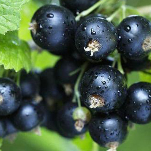 Blackberry aroma