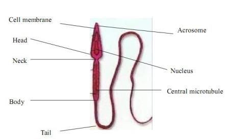 Sperm shape.png