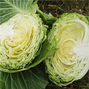 Cabbage Manufacturers, Cabbage Factory, Supply Cabbage