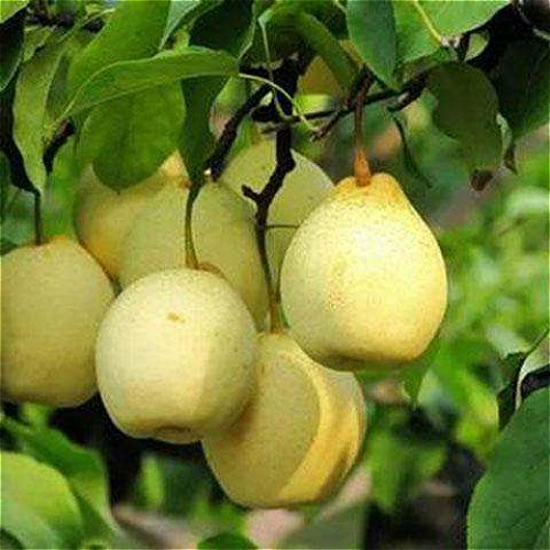 Pear Manufacturers, Pear Factory, Supply Pear