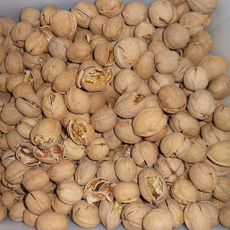 thin shell walnut walnuts in shell Chinese walnut