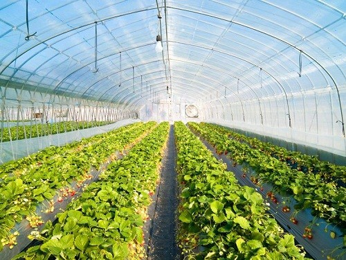 Strawberry Greenhouse Films