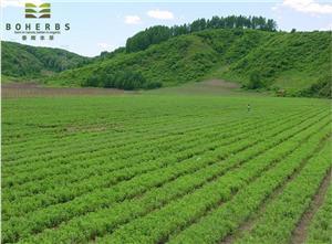Radix Gentianae Farm