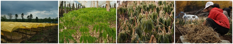Ginseng Root Farm