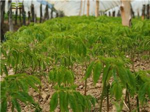 Panax Ginseng Farm