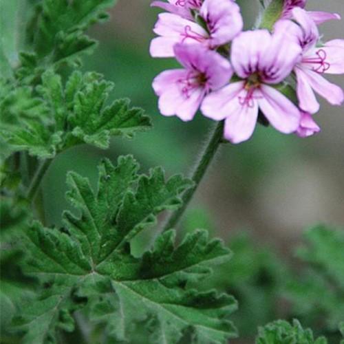 Dried Pelargonium Geraniaceae Herb
