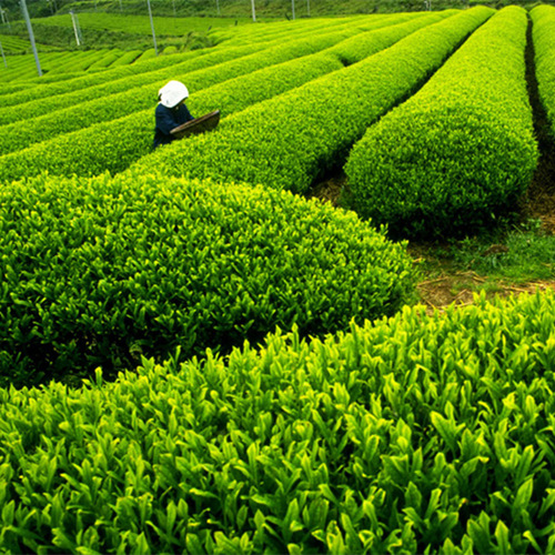 Can Green Tea Extract Help Fight Cancer?