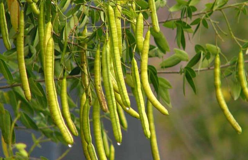 Dried Cassia Seeds