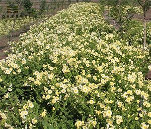 Ferme de fleurs de chrysanthème