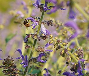 Danshen (Salvia Miltiorrhiza ) Farm